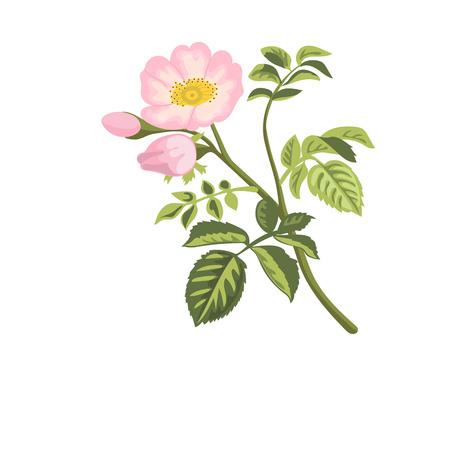 Hunderose Zweig mit Blättern und Blüten. Wilde Rose. Rosa canina. Hagebutte auch bekannt als Rose Haw oder Rose Hep. Vektor-Illustration.