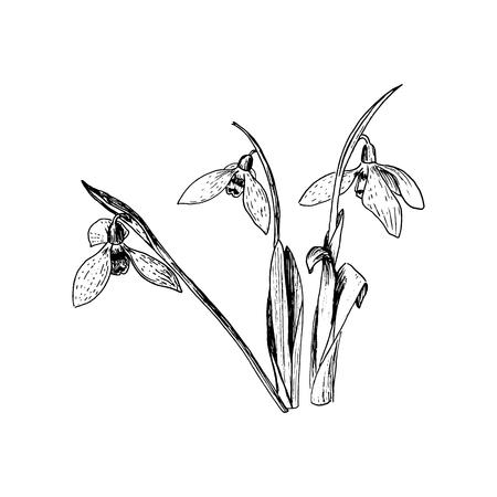 Fiori primaverili bucaneve. Delicato fiore Galanthus nivalis, simboli primaverili. Fiori di bucaneve. Penna a inchiostro in stile schizzo. Illustrazione vettoriale. Incisione. Per stampe, web, decorazioni Vettoriali