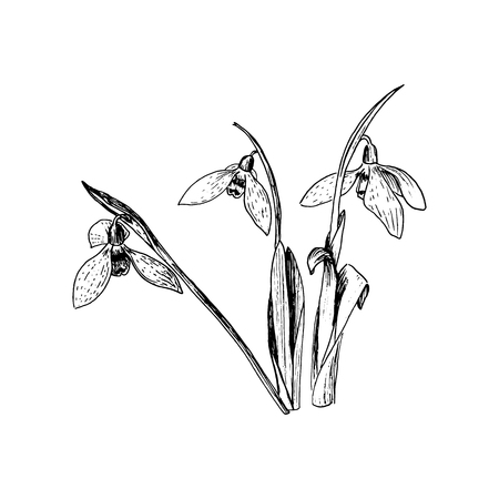 Snowdrop spring flowers. Delicate Galanthus nivalis flower, spring symbols. Snowdrop blossoms. Sketsh style ink pen. Vector illustration. Engraving. For prints, web, decoration Иллюстрация