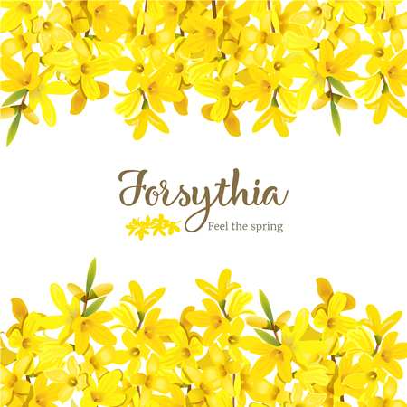 Forsythia suspensa, fluffy blossoming yellow spring tree card template. Golden Bell, flowers frame top and bottom