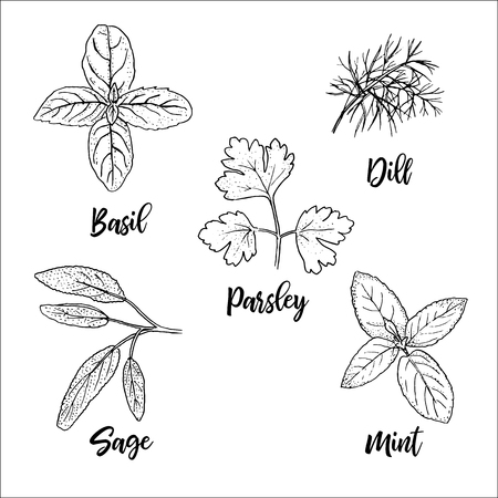 Sagome di erbe aromatiche fresche popolari. Basilico, menta, salvia, aneto, prezzemolo. Stile di schizzo a penna a inchiostro. Illustrazione vettoriale.