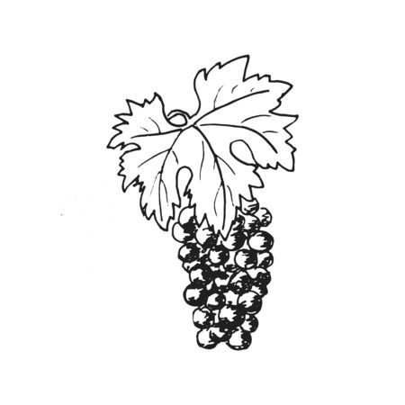 Grapes. Grape wine, Hand drawn engraving illustration, minimalism style. bunch of grapes. Leaves, folliage, Foto de archivo - 133541635