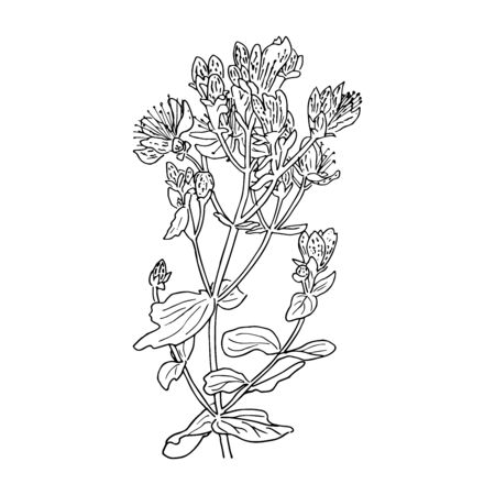 Hypericum perforatum, St. johns worth. Herbal hand drawn engraving illustration, minimalism style. Ink pen vintage sketch. Vector   design template, badge for tea, organic cosmetic, aromatherapy
