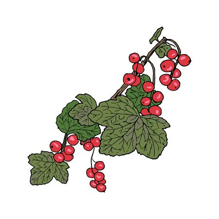 Ripe red currant branch with berries and leaves. Hand drawn Sketch style colored ink pen vector illustration. For decoration, prints, label, tags, isolated. vintage.   design template, badge