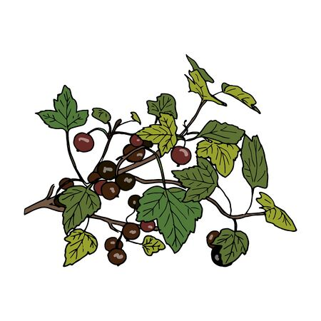 Ripe black currant branch with berries and leaves. Hand drawn Sketch style colored ink pen vector illustration. For decoration, prints, label, tags, isolated. vintage.   design template, badge