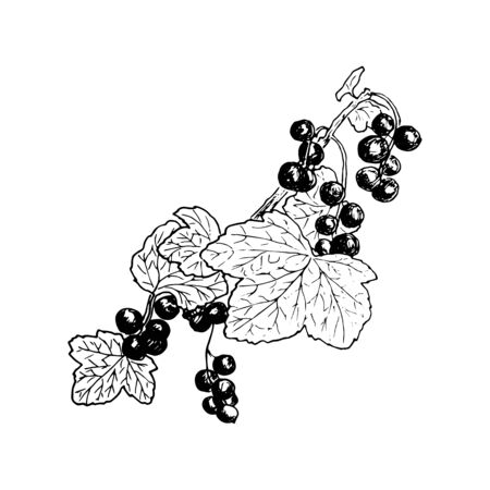 Ripe red currant branch with berries and leaves. Hand drawn Sketch style ink pen vector illustration. For decoration, prints, label, tags, isolated. vintage.   design template, badge