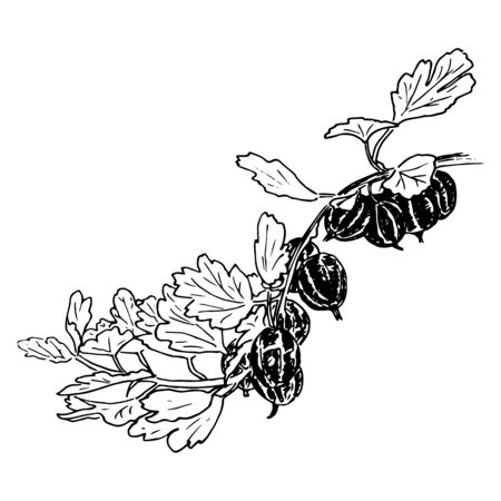 fresh ripe gooseberries and leaves on a branch. garden. Hand drawn Sketch style ink pen vector illustration. For decoration, prints, label, tags, . vintage. template, badge