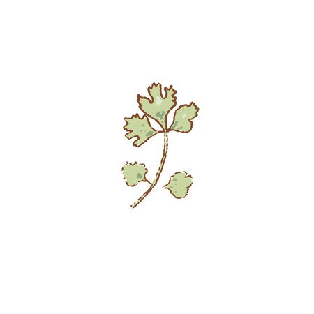 Fresh raw Ripe green parsley herb isolated icon. Spring garden salad. Rareripes. hastings, farm market, Vector illustration. hand-drawn vintage, Healthy lifestyle. Farmer bio products. prints, labels Иллюстрация