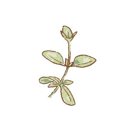 Bunch of Fresh green oregano twigs isolated icon. Spring Rareripes. hastings, farm market, Vector illustration. hand-drawn vintage style popular seasonal raw coolinary herb cooking Healthy lifestyle