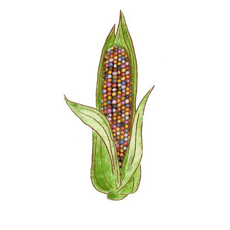 Fresh raw Ripe Ear of Cob colored glass gem corn. vegetable isolated icon. Rareripes. hastings, farm market, illustration. hand-drawn vintage, Healthy lifestyle. Farmer bioproducts. prints, labels
