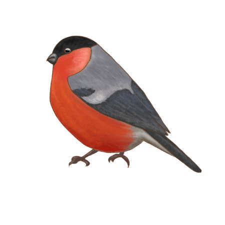walking Bullfinch sitting on a branch isolated on white background