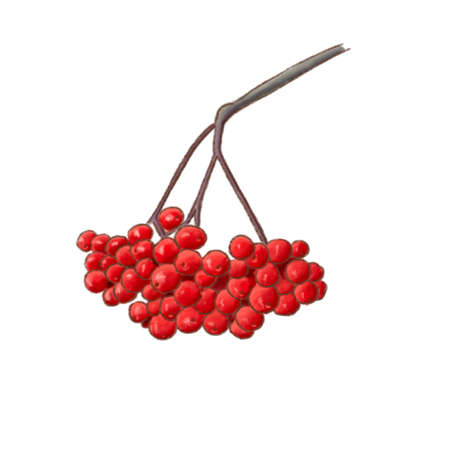 Red rowan berries and leaves, isolated on white background Banque d'images