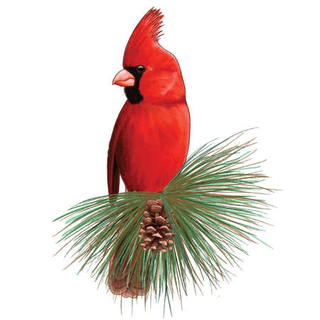 Male northern cardinal, red Cardinalis cardinalis, isolated on white