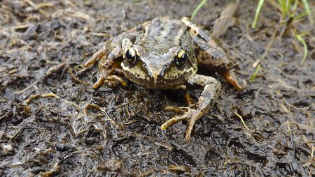 blue mountains tree frog: Mountain frog