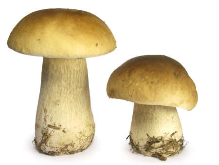 Two mushrooms isolated on white background.
