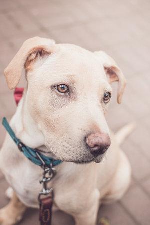 Labrador dog pet sitting cream white Imagens