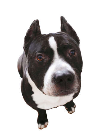 Leuke Pit Bull Terrier, geïsoleerd Stockfoto - 12192218