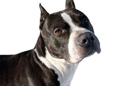 Dog pit bull terrier isolated serious appearance photo