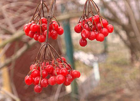 guelder: Guelder rose berries red natural
