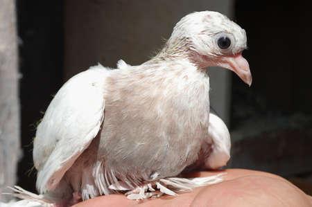 Dove genesteld witte terechtzitting van de hand iets Stockfoto