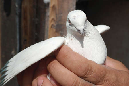 White Pigeon Dove in hand with white red eyes