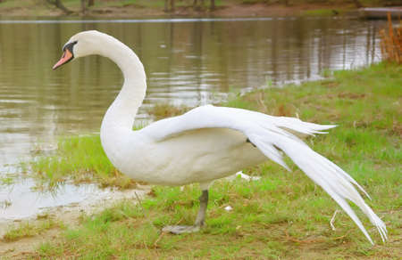 White Swan with open wings near river Stock Photo - 13160000