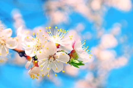 Las flores del árbol de albaricoque en el cielo azul de primavera
