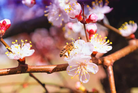 Flowering Tree Apricot and Bee Spring colorful background Stock Photo - 13198007