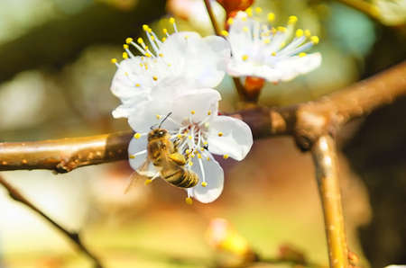 apricot tree: Bee on Apricot Tree taken pollen Spring