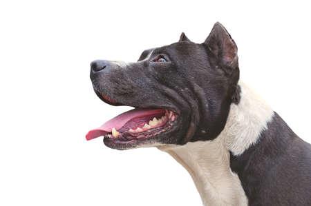 Собака питбультерьер счастливы появлению изолированных на белом фоне