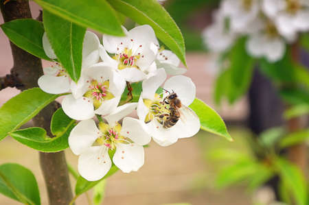 Flowering Pear Tree and Bee taken pollen background Stock Photo