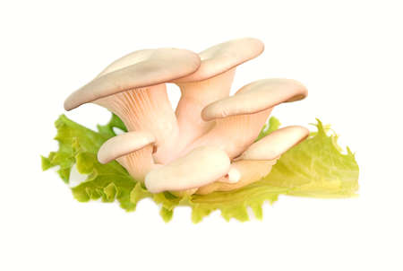 Oyster Mushroom on Salad leaf on white background Stock Photo