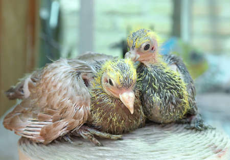 Pigeon nestling little photo