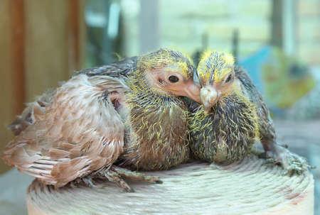 Pigeon nestlings bird sitting together photo