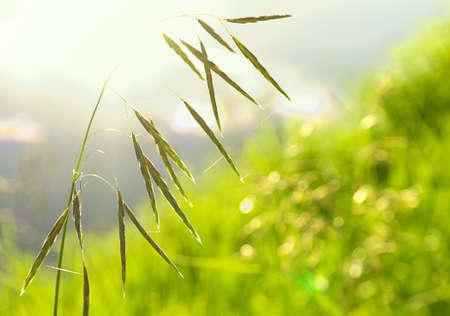 野生エンバクの美しい夏のカラフルな緑の背景