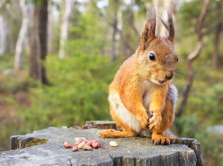 Squirrel with nuts and summer forest on background wild nature thematic  Sciurus vulgaris, rodent  Stock Photo