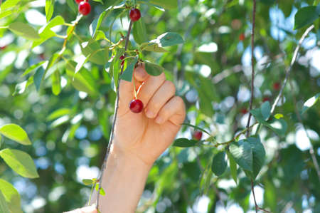 reaping: Cherry Berries on Cherry-Tree and man Hand reaping it