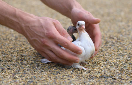 Pigeon Nestling Bird white on sand and Man Hands holding Birds Enter to the new world of baby dove photo