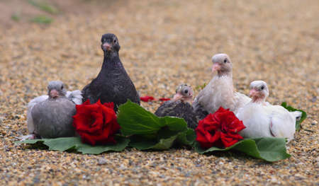 Pigeon Nestlings Birds sitting on sand together with Roses Flower photo