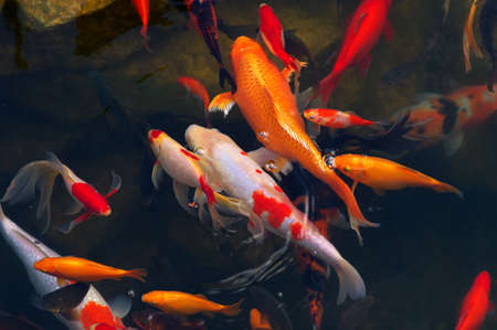 Koi Carps Fish Japanese swimming  Cyprinus carpio  beautiful color variations natural organic Stock Photo - 23076999