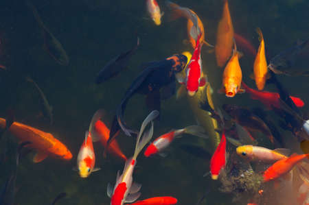 Koi Carps Fish Japanese swimming  Cyprinus carpio  beautiful color variations natural organic Stock Photo - 23077005