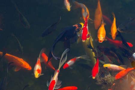 Koi Carps Fish Japanese swimming  Cyprinus carpio  beautiful color variations natural organic Stock Photo - 23077005