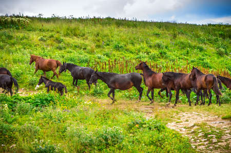 Horses herd running on Green Valley in Mountains rural Landscape