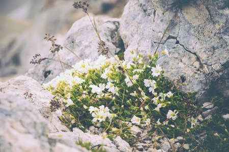 White Flowers on stones growing in mountains beautiful nature