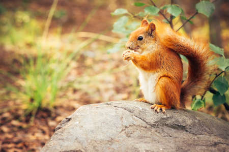 red squirrel: Squirrel red fur with nuts and summer forest on background wild nature animal thematic (Sciurus vulgaris, rodent) Stock Photo