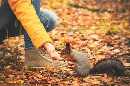 animales del bosque: Ardilla que come tuercas de la mano de la mujer y de las hojas de oto�o sobre fondo de naturaleza salvaje animales tem�tica (Sciurus vulgaris, roedores)