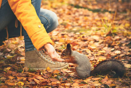 red animal: Squirrel eating nuts from woman hand and autumn leaves on background wild nature animal thematic (Sciurus vulgaris, rodent) Stock Photo