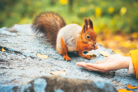 sciurus: Squirrel eating nuts from woman hand forest on background wild nature animal thematic (Sciurus vulgaris, rodent)