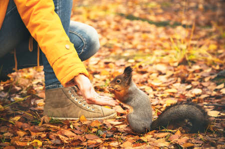 Squirrel eating nuts from woman hand and autumn leaves on background wild nature animal thematic (Sciurus vulgaris, rodent) Imagens