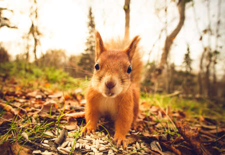 red squirrel: Squirrel red fur funny pets autumn forest on background wild nature animal thematic (Sciurus vulgaris, rodent)
